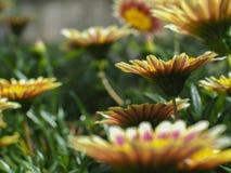 Τα λεπτά κίτρινα λουλούδια έχουν ανθίσει πλήρως Στοκ φωτογραφία με δικαίωμα ελεύθερης χρήσης