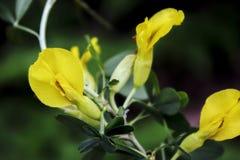 Τα λεπτά κίτρινα λουλούδια της ακακίας στοκ εικόνες
