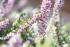 Τα λεπτά ροδαλός-ρόδινα λουλούδια του χειμερινού ρεικιού εγκαταστάσεων darleyensis της Erica μέσα κατά τη διάρκεια της ηλιόλουστη στοκ εικόνα με δικαίωμα ελεύθερης χρήσης