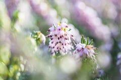 Τα λεπτά ροδαλός-ρόδινα λουλούδια του darleyensis της Erica φυτεύουν το χειμερινό ρείκι που απομονώνεται στο μακρο πυροβολισμό κι στοκ εικόνες