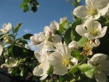 Τα λευκά σαν το χιόνι λουλούδια της Apple στο υπόβαθρο μπλε ουρανού κλείνουν επάνω Στοκ Φωτογραφία