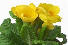 τα λουλούδια αναπηδούν κίτρινο Στοκ φωτογραφίες με δικαίωμα ελεύθερης χρήσης