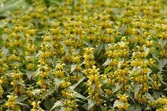 τα λουλούδια αρχαγγέλ&omeg στοκ φωτογραφία με δικαίωμα ελεύθερης χρήσης