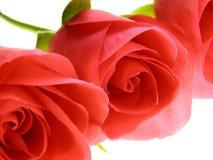 τα λουλούδια αυξήθηκαν Στοκ Φωτογραφία