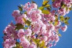 Τα λουλούδια είναι λεπτό, ρόδινο και άσπρο άνθος κερασιών, που ανθίζει την άνοιξη στοκ εικόνα