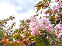 Τα λουλούδια είναι λεπτό, ρόδινο και άσπρο άνθος κερασιών, που ανθίζει την άνοιξη στοκ εικόνα με δικαίωμα ελεύθερης χρήσης