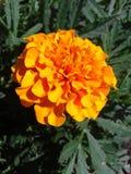 Τα λουλούδια είναι marigolds νεολαίες ενηλίκων Τον Ιούλιο του 2018 Στοκ Εικόνες
