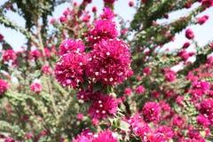 τα λουλούδια ερήμων αυξή Στοκ Εικόνες