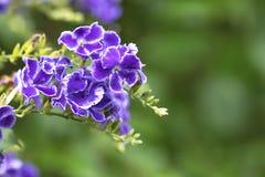 τα λουλούδια καλλιεργούν πορφύρα στοκ φωτογραφίες