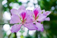 τα λουλούδια καμελιών &alph Στοκ φωτογραφία με δικαίωμα ελεύθερης χρήσης