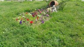 Τα λουλούδια καρδιά-διαμορφώνονται, δίπλα στο καλάθι κάθεται ένα άστεγο καφετί άσπρο σκυλί απόθεμα βίντεο