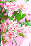 τα λουλούδια κινηματογραφήσεων σε πρώτο πλάνο στρέφουν ρόδινο μαλακό κρίνων Στοκ Φωτογραφία