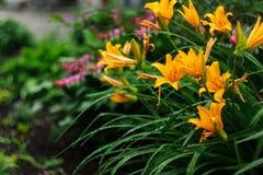 Τα λουλούδια κρίνων άνθισαν στο κρεβάτι λουλουδιών στις αρχές του καλοκαιριού Στοκ φωτογραφίες με δικαίωμα ελεύθερης χρήσης