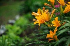 Τα λουλούδια κρίνων άνθισαν στο κρεβάτι λουλουδιών στις αρχές του καλοκαιριού Στοκ φωτογραφία με δικαίωμα ελεύθερης χρήσης