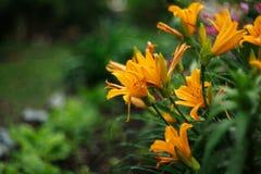 Τα λουλούδια κρίνων άνθισαν στο κρεβάτι λουλουδιών στις αρχές του καλοκαιριού Στοκ εικόνες με δικαίωμα ελεύθερης χρήσης