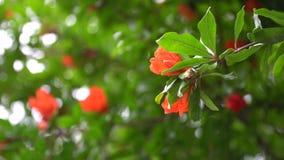 Τα λουλούδια κόκκινων ελατηρίων στο δέντρο διακλαδίζονται στην ηλιόλουστη ημέρα, καλή για την κάρτα απόθεμα βίντεο