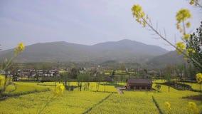 Τα λουλούδια λάχανων λαμβάνονται σε Hanzhong, Κίνα απόθεμα βίντεο