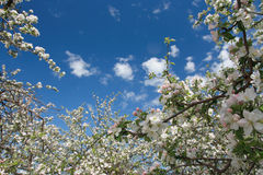 τα λουλούδια μήλων αναπηδούν το λευκό δέντρων Στοκ Εικόνες