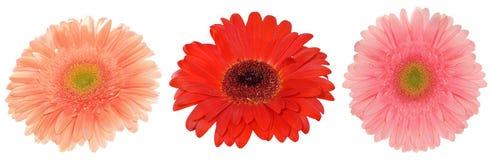 τα λουλούδια μαργαριτών απομόνωσαν το λευκό τρία Στοκ φωτογραφίες με δικαίωμα ελεύθερης χρήσης