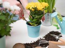 Τα λουλούδια μεταμόσχευσης προσώπων στον πίνακα με το χώμα, πότισμα μπορούν, να εκσκάψουν Στοκ φωτογραφίες με δικαίωμα ελεύθερης χρήσης