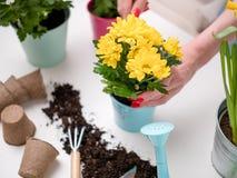Τα λουλούδια μεταμόσχευσης προσώπων στον πίνακα με το χώμα, πότισμα μπορούν, να εκσκάψουν Στοκ εικόνες με δικαίωμα ελεύθερης χρήσης