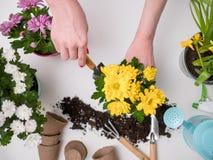 Τα λουλούδια μεταμόσχευσης προσώπων στον πίνακα με το χώμα, πότισμα μπορούν, να εκσκάψουν Στοκ Εικόνες
