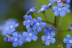 τα λουλούδια με ξεχνούν ό στοκ φωτογραφία