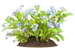 τα λουλούδια με ξεχνούν m Στοκ Φωτογραφίες