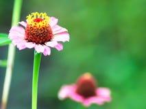 τα λουλούδια οδοντώνουν δύο Στοκ φωτογραφίες με δικαίωμα ελεύθερης χρήσης