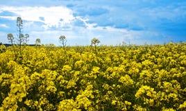 τα λουλούδια πεδίων βιάζουν κίτρινο Στοκ εικόνα με δικαίωμα ελεύθερης χρήσης