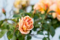 τα λουλούδια περιβάλλοντος αυξήθηκαν κίτρινος Στοκ εικόνα με δικαίωμα ελεύθερης χρήσης