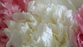 Τα λουλούδια, περιστροφή στο άσπρο υπόβαθρο, floral σύνθεση αποτελούνται από το γαρίφαλο απόθεμα βίντεο