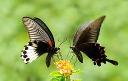 τα λουλούδια πεταλούδων μοιράζονται swallowtail Στοκ Φωτογραφίες