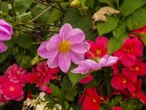Τα λουλούδια σε Harrogate που είναι ένας τόπος προορισμού τουριστών και η έλξη επισκεπτών του περιλαμβάνουν τα νερά SPA του Στοκ Εικόνες
