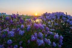 Τα λουλούδια στην ανατολή πλήρους άνθισης Στοκ Εικόνες
