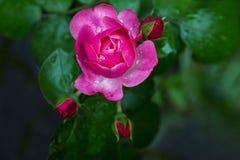 Τα λουλούδια τέσσερα ρόδινα αυξήθηκαν οφθαλμοί που εκρήγνυνται στην άνθιση Στοκ εικόνες με δικαίωμα ελεύθερης χρήσης
