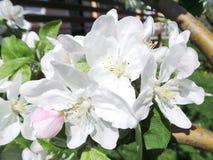 Τα λουλούδια της Apple αναπηδούν κοντά επάνω Στοκ εικόνα με δικαίωμα ελεύθερης χρήσης