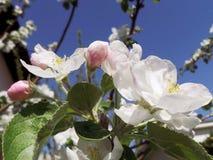 Τα λουλούδια της Apple αναπηδούν κοντά επάνω Στοκ εικόνες με δικαίωμα ελεύθερης χρήσης