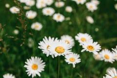 Τα λουλούδια της Daisy κλείνουν επάνω σε ένα υπόβαθρο του πράσινου τομέα άνοιξη στοκ φωτογραφία