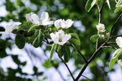Τα λουλούδια του κυδωνιού που ανθίζουν μια άνοιξη καλλιεργούν, λεπτά ρόδινα λουλούδια στα πλαίσια του πράσινου φυλλώματος στοκ εικόνες
