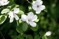 Τα λουλούδια του κυδωνιού που ανθίζουν μια άνοιξη καλλιεργούν, λεπτά ρόδινα λουλούδια στα πλαίσια του πράσινου φυλλώματος στοκ φωτογραφία με δικαίωμα ελεύθερης χρήσης