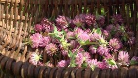 Τα λουλούδια τριφυλλιού είναι στο καλάθι Ψάθινο καλάθι της λυγαριάς απόθεμα βίντεο