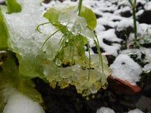 Τα λουλούδια φθινοπώρου κάτω από τη βροχή μειώνονται και χιόνι Στοκ Εικόνα