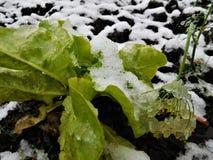 Τα λουλούδια φθινοπώρου κάτω από τη βροχή μειώνονται και χιόνι Στοκ φωτογραφία με δικαίωμα ελεύθερης χρήσης