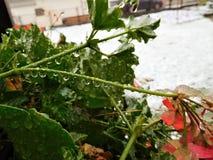 Τα λουλούδια φθινοπώρου κάτω από τη βροχή μειώνονται και χιόνι Στοκ Εικόνες