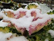Τα λουλούδια φθινοπώρου κάτω από τη βροχή μειώνονται και χιόνι Στοκ Φωτογραφίες