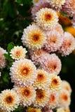 Τα λουλούδια χρυσάνθεμων αυξάνονται υπαίθρια το φθινόπωρο Στοκ Φωτογραφία