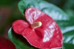 Τα λουλούδια χρωμάτισαν κόκκινο Anthurium και κίτρινος Στοκ Εικόνες
