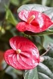 Τα λουλούδια χρωμάτισαν κόκκινο Anthurium και κίτρινος Στοκ Φωτογραφίες