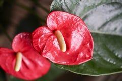 Τα λουλούδια χρωμάτισαν κόκκινο Anthurium και κίτρινος Στοκ εικόνες με δικαίωμα ελεύθερης χρήσης